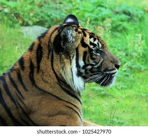 lovely head of a tiger