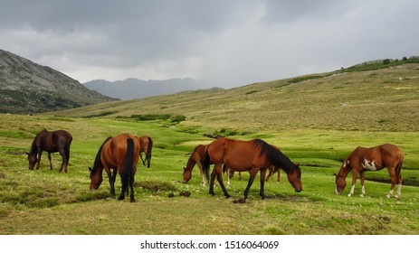 lovely herd of brown horses grazing on mountain meadow near Nino lake (Lac du Nino) located on hiking trail GR20 leading through Corsica, french island in Mediterranean Sea, France, Europe