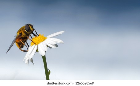 Lovely hoverfly resting on a blooming Chamomile flower. Close up, macro, natural background, copy space.