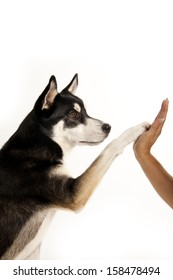 A lovely Husky mix dog gives his paw in a woman hand in symbolic of friendship between human and dog.