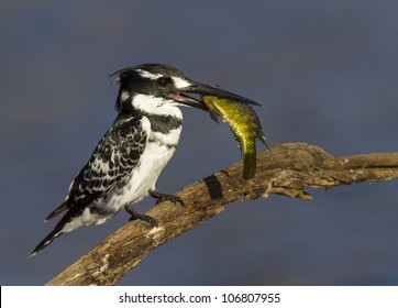 Lovely image of a Pied Kingfisher with a colorful fish catch