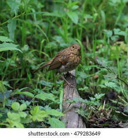A lovely juvenile European Robin, also known as Robin Redbreast or simply Robin, perched amongst green grass