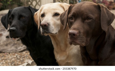 lovely labradors