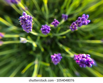 Lovely lavender buds seen from the top down with flared perspective