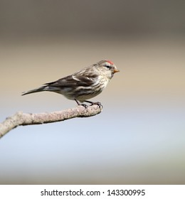 A lovely Lesser Redpoll on a thin perch