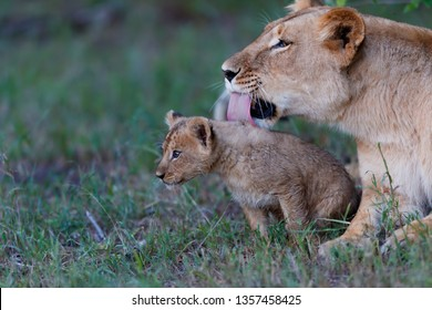 Lovely Lion baby is being cleaned by the mother late evening in Masai Mara, Kenya
