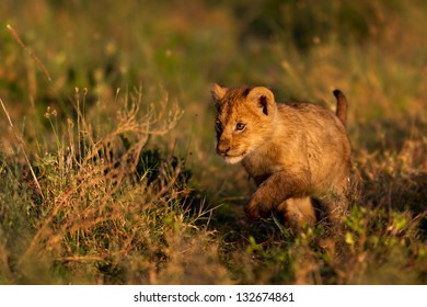 Lovely Lion cub discovers his world at sunrise, Serengeti, Tanzania