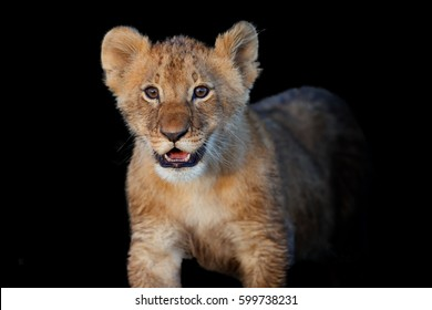 Lovely Lion cub in Masai Mara, Kenya with black background