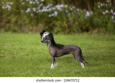 A lovely Little Chinese Crested Hairless Dog Female in Standard Portrait