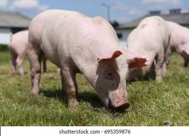 Lovely little pigs graze on organic farm