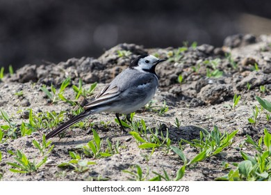 A lovely little wagtail sits on the ground among a young grassland.