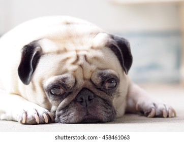 Lovely Lonely White Fat Cute Pug Dog Laying On The Concrete Garage Floor  Making Sadly Face