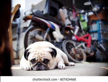 lovely lonely white fat cute pug dog laying on the concrete garage floor looking at camera with blur home outdoor surrounding bokeh background under morning sunlight