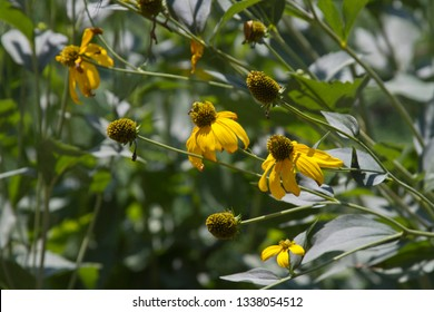 Lovely long stemmed, bright yellow coneflowers growing tilted towards the sunlight in summer