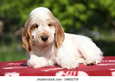 Lovely looking puppy of english cocker spaniel
