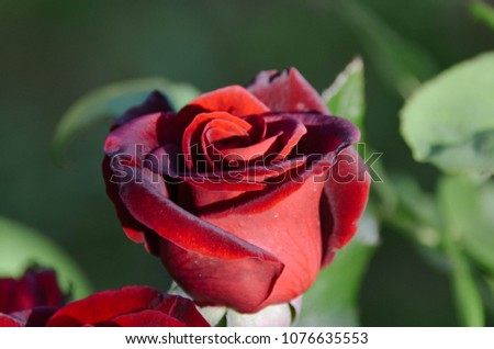 Lovely Lush Red Rose Blooming Morning Stock Photo Edit Now
