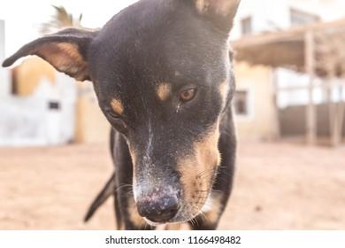 The lovely Manchester Terrier dog in Dahab city, Egypt, Africa