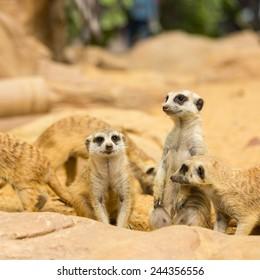 Lovely Meerkats looking something in natural wild
