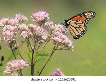 Lovely Monarch Butterfly on a Joe Pye Weed