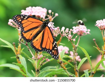 Lovely Monarch Butterfly on a Pink Joe Pye Weed