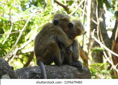Lovely monkeys in Sri Lanka in Minneriya national park jungle in September 2018