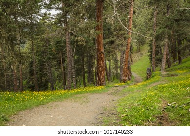 Lovely narrow trail in the forest located in Caucasus, Georgia, Tusheti region. Grass and yellow flowers at the mid-ground, fir-trees with brown trunks on the background.