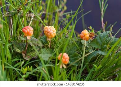 Lovely orange cloudberries (Rubus chamaemorus). Season: Summer. Location: Western Siberian taiga.
