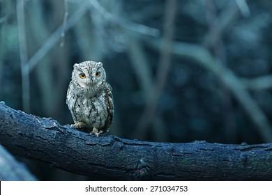 lovely Oriental Scops Owl , Thailand