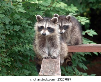 Lovely pair of raccoons resting and starring on a deck during the day