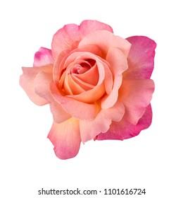 Lovely pink, cream, yellow, orange rose isolated on white