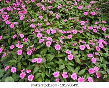 Lovely Pink flowers in a garden - Catharanthus roseus, Madagascar periwinkle, rose periwinkle, or rosy periwinkle, Apocynaceae