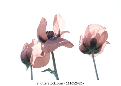 lovely pink poppies