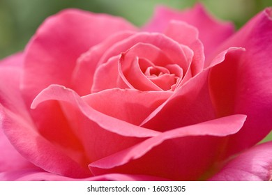 A lovely pink rose.
