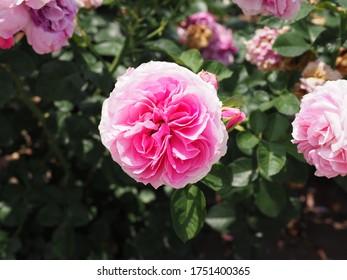 Lovely pink rose or  floribunda roses flower blooming in the garden
