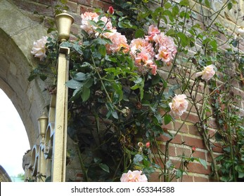 Lovely pink roses against a brick wall, and a lamp on the grounds of Hever Castle in England, the United Kingdom.
