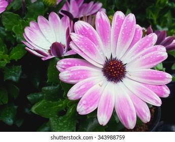 Lovely pink Spanish daisy in the rain