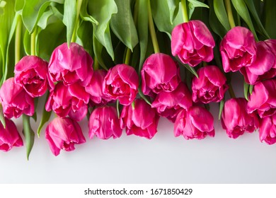 lovely pink tulips on pink background - flowers nad plants