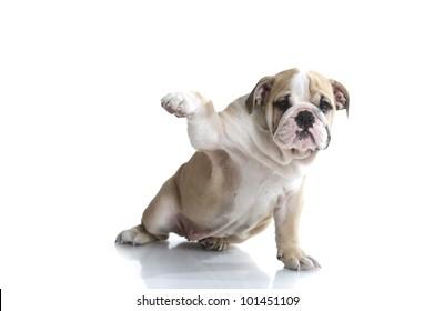 Lovely playful english bulldog puppy isolated