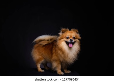 Lovely Pomeranian dog looks at camera on black background. Cute dog standing on black box. Charming doggy has beautiful brown hair or brown fur. It looks innocence and friendly. It sticking out tongue