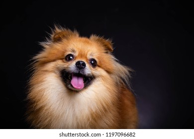Lovely Pomeranian dog looks at owner and smile it, black background. Cute dog look friendly and smart. Charming doggy has beautiful brown hair or brown fur. It looks innocent and adorable. copy space