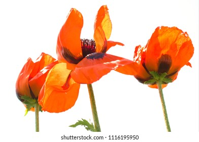 lovely poppies