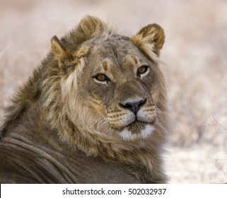 Lovely portrait of a male lion isolated from the background with eye contact