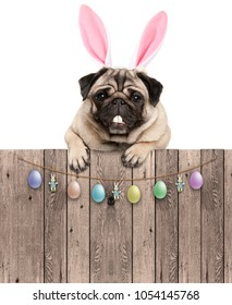 lovely pug dog with easter bunny ears diadem, hanging with paws on wooden fence with egg decoration, isolated on white background