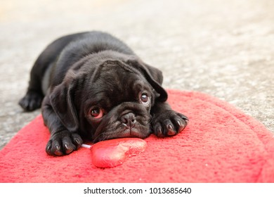 Lovely pug dog with red heart chocolate on heart mat in valentine day.