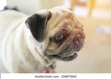 lovely pug dog , shallow depth of field