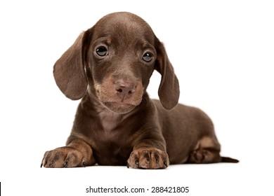 Lovely puppy dachshund lying in a white studio