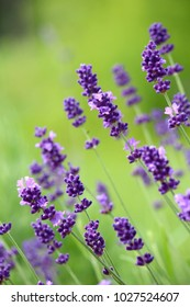Lovely purple lavender against lime green foliage