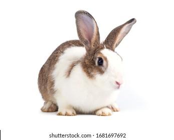 Lovely rabbit sitting isolated on white background.