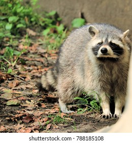 lovely raccoon in the zoo