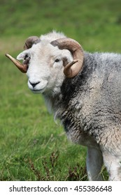 A lovely Ram, male sheep, with horns, close-up